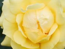 Il colore giallo bagnato è aumentato fotografia stock