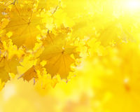 Il colore giallo di autunno lascia la priorità bassa Fotografie Stock Libere da Diritti