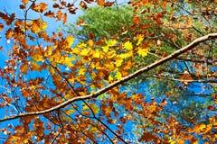 Il colore giallo di autunno lascia la priorità bassa Fotografia Stock