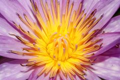 il colore giallo e porpora del fiore di loto alto vicino è così bello fotografie stock libere da diritti