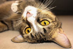 Il colore giallo eyes il gatto Fotografia Stock