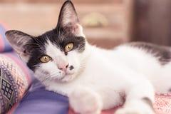 Il colore giallo eyes il gatto Fotografie Stock Libere da Diritti