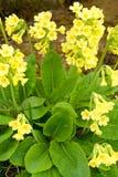 Il colore giallo fiorisce i veris del primula Immagini Stock Libere da Diritti