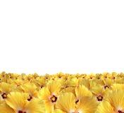 Il colore giallo fiorisce l'orizzonte Fotografie Stock