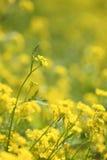 Il colore giallo fiorisce la priorità bassa Immagine Stock Libera da Diritti