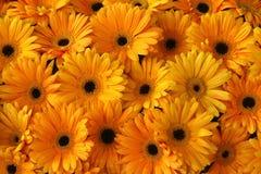 Il colore giallo fiorisce la priorità bassa Fotografia Stock