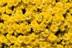 Il colore giallo fiorisce orizzontale Fotografia Stock Libera da Diritti