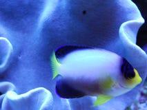 Il colore giallo ha cappottato i pesci Fotografie Stock