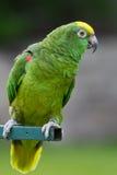 Il colore giallo ha diretto il pappagallo Fotografie Stock Libere da Diritti