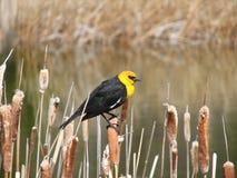 Il colore giallo ha diretto l'uccello nero fotografia stock libera da diritti