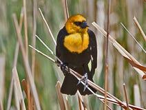 Il colore giallo ha diretto l'uccello nero Fotografia Stock