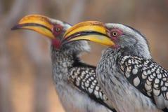 Il colore giallo ha fatturato i Hornbills Fotografia Stock
