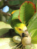 Il colore giallo ha messo il pappagallo sulle spalle che mangia una mandorla Immagini Stock