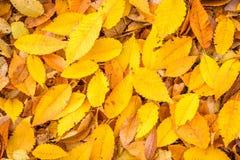 Il colore giallo lascia la priorità bassa Fotografia Stock
