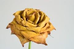 Il colore giallo secco è aumentato Immagini Stock Libere da Diritti