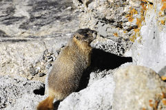 Il colore giallo si è gonfiato la marmotta Immagini Stock Libere da Diritti