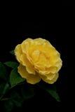 Il colore giallo tè-si è erso con le gocce di rugiada Immagine Stock Libera da Diritti