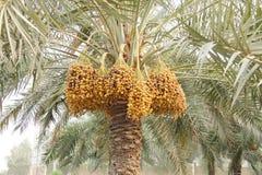 Il colore marrone giallo e scuro matura le date lungo l'albero Fotografie Stock Libere da Diritti