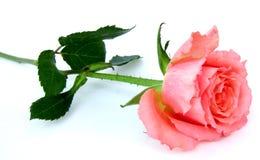 Il colore rosa è aumentato Immagini Stock Libere da Diritti