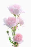 Il colore rosa è aumentato Fotografie Stock