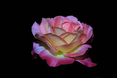 Il colore rosa è aumentato immagine stock