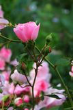 Il colore rosa è aumentato Fotografie Stock Libere da Diritti