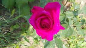 Il colore rosa è aumentato Fotografia Stock