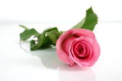 Il colore rosa è aumentato Fotografia Stock Libera da Diritti