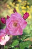 Il colore rosa è aumentato con fogliame verde Immagine Stock