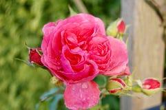 Il colore rosa è aumentato con i waterdrops immagine stock libera da diritti