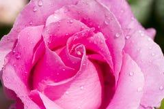 Il colore rosa è aumentato con le gocce Immagine Stock Libera da Diritti