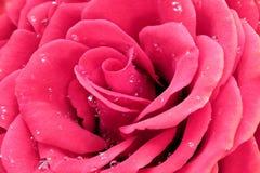 Il colore rosa è aumentato con le gocce dell'acqua fotografia stock
