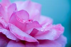 Il colore rosa è aumentato con le gocce dell'acqua Immagine Stock Libera da Diritti