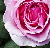 il colore rosa è aumentato con le gocce della pioggia Immagini Stock Libere da Diritti