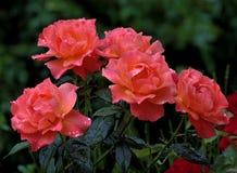 Il colore rosa è aumentato con le goccioline di acqua fotografia stock libera da diritti