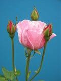Il colore rosa è aumentato con tre germogli Fotografie Stock