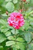 Il colore rosa è aumentato in fioritura Fotografia Stock Libera da Diritti