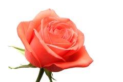 Il colore rosa è aumentato sopra bianco Immagine Stock Libera da Diritti