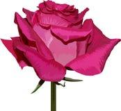 Il colore rosa è aumentato su priorità bassa bianca Fotografia Stock Libera da Diritti