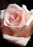 Il colore rosa è aumentato su priorità bassa scura Fotografia Stock Libera da Diritti