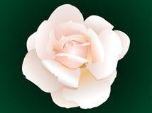 Il colore rosa astratto è aumentato Fotografia Stock