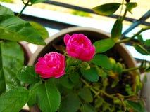 Il colore rosa ? aumentato fotografie stock