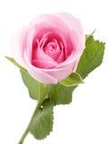 Il colore rosa è aumentato Immagine Stock Libera da Diritti