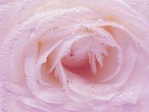 Il colore rosa è aumentato nelle gocce di rugiada Immagini Stock
