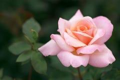 il colore rosa del fiore è aumentato Fotografia Stock