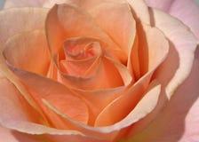 Il colore rosa del primo piano è aumentato Fotografie Stock