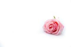 Il colore rosa dell'isolato è aumentato Fotografia Stock