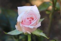 Il colore rosa di fioritura è aumentato fotografie stock