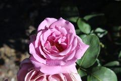 Il colore rosa di fioritura è aumentato fotografia stock libera da diritti