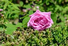 il colore rosa di giardino è aumentato Immagine Stock